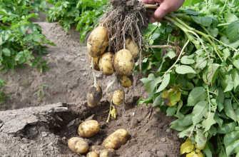Ранние сорта картофеля – фото и описание, отзывы