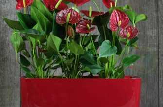 Антуриум (100 фото): уход в домашних условиях, описание цветка, пересадка, размножение, подкормка, полив