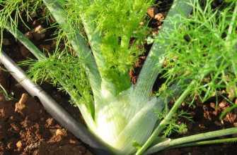 Как сажать фенхель в том числе семенами в открытом грунте, когда и как правильно делать