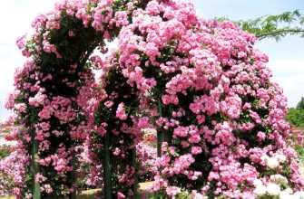 Как сажать розы в открытом грунте весной: пошаговая инструкция
