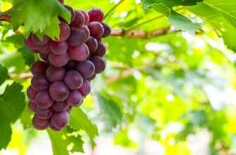 Посадка винограда весной через рассаду: пошаговая инструкция