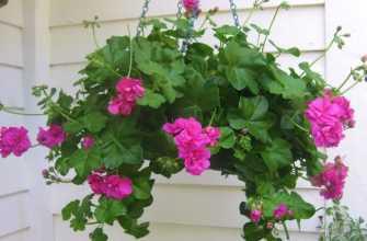 Герань плющелистная (ампельная): уход в домашних условиях, выращивание