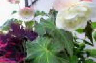 Комнатное растение клубневая бегония: выращивание, правила разведения, особенности ухода в домашних условиях, полива, подкормки, советы и рекомендации специалистов