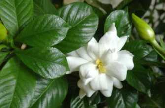 Гардения: размножение в домашних условиях, выращивание черенками и способы укоренения; веб-портал, посвященный сельскому хозяйству