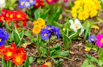 Примула садовая: посадка и уход в открытом грунте, сорта с фото и названиями
