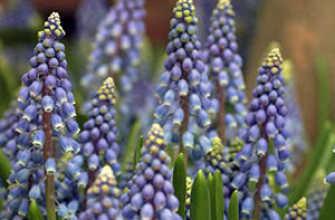 Мускари: посадка и уход в открытом грунте, фото, хранение после цветения