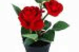 Роза в горшке: уход и выращивание в домашних условиях