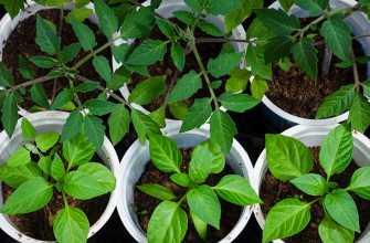 Что нужно для выращивания здоровых и крепких саженцев томатов и перца?