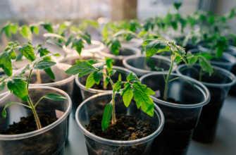 Подкормка ростков томатов в домашних условиях Как и чем их правильно кормить