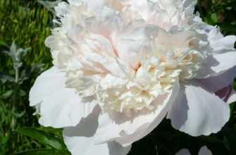 Лучшие сорта белых травянистых пионов: бело-розовые, махровые, с красными полосами
