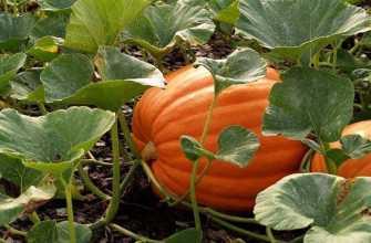 Выращивание тыквы в земле: правила и способы посадки и особенности ухода