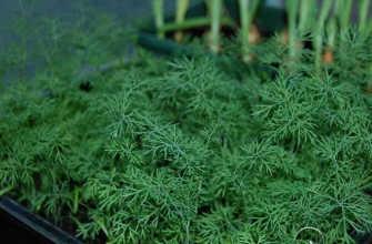 Укроп на подоконнике – выращивание из семян