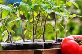 Посадка рассады томатов в землю: когда и как правильно сажать