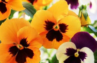 Анютины глазки: посадка фиников, выращивание и уход на открытом воздухе