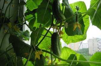 Как выращивать огурцы на балконе: пошаговое выращивание балконных сортов