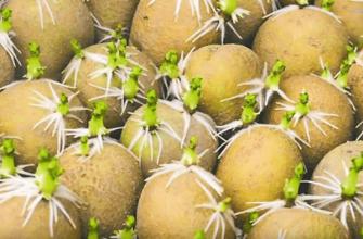 Переработка картофеля против посадки от болезней и вредителей