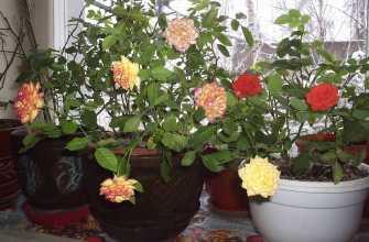 Как кормить розу в домашних условиях