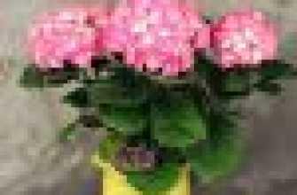 Могу ли я практиковать гортензию в горшке дома? Что я должен кормить гортенню, чтобы расцветать? Гортензия: посадка и уход