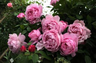 Английская роза: уход и выращивание – подробная информация!