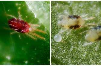 29 Борьба с паутинным клещом в комнатных растениях