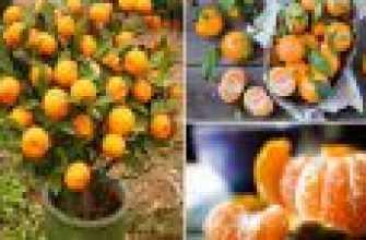 Мандарин: выращивание из семян в домашних условиях