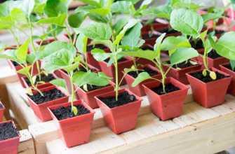 Как вырастить хороший саженец баклажана: правила ухода и выращивания