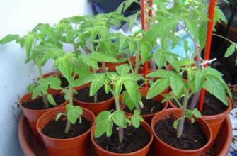 Посадка рассады томатов в домашних условиях Когда сажать Посев и условия выращивания