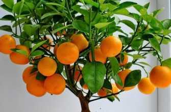 Выращивание мандарина из семян в домашних условиях без прививки и ухода за ним