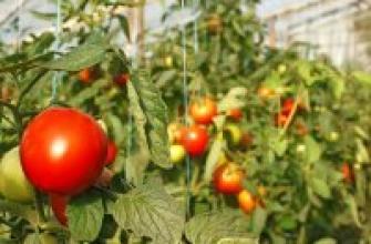 Посадка и выращивание томатов в теплице: лучшая технология