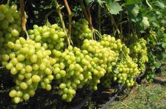 30 лучших сортов винограда для винодельческих регионов России: информация и описания