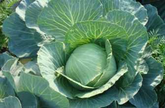 Капуста – выращивание рассады, уход за капустой в открытом грунте, сбор урожая