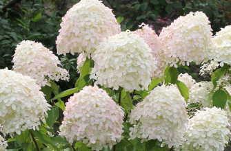Гортензия метельчатая – открытый грунт, уход | Выращивание!