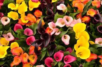 Все о Калласе, посадке и уходе в земле, выращивании в саду весной