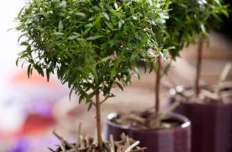 Мирт (миртовое дерево): уход в домашних условиях, пересадка и размножение