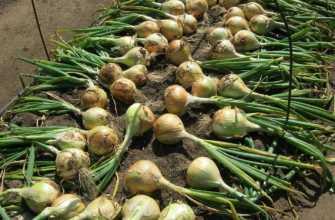 Лук эксибишин: выращивание из семян Когда сажать на рассаду Фото Видео