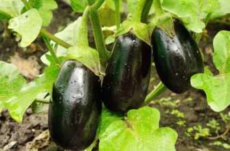 Выращивание баклажанов в поле от посева семян до сбора урожая