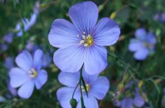 Лен: посадка и уход в полевых условиях, лен голубой многолетний