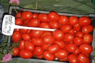 Ранние сорта томатов для полевого выращивания: низкорослые, крупноплодные