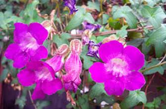 Азарина вьющаяся: посадка и уход в открытом грунте, культивируемые семена, фото