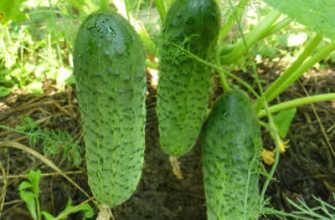 Огурцы в теплице, теплице, в земле: схемы посадки – Моя дача – информационный сайт для садоводов, овощеводов и овощеводов