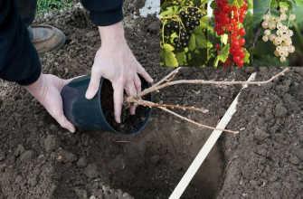 Посадка смородины осенью, весной и летом
