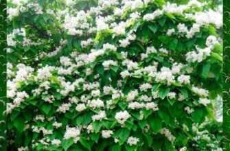 Посадка и уход за деревом катальпа, особенности размножения семенами