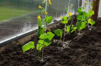 Когда и как сажать огурцы (семена и рассаду) в теплице в 2021 году