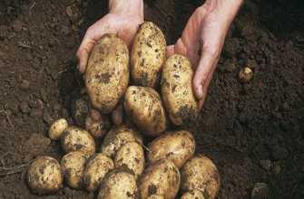 Картофель сорокоднийка: описание сорта, выращивание, когда копать