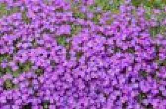 Perennial Aubrieta: фото, посадка и уход, специфики открытых грунтов