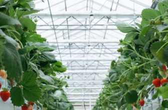 Выращивание клубники в теплице круглый год по голландской технологии: методика, техника, пошаговая инструкция