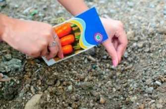 Распространение моркови в земле: агротехника шаг за шагом посадка, уборка и уход, секреты оплодотворения, а также как вырастить большой овощ в саду, когда прорезается?