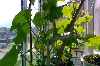 Балконный огурец F1: выращивание на окне и правильный уход с фото