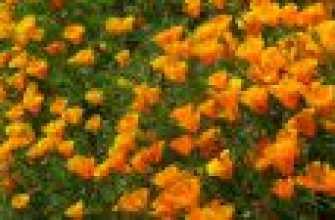 Esholzia: Выращивание из семян при посадке, уходе и поливах, фотографии