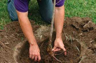 Как правильно посадить яблоню весной: пошаговое руководство